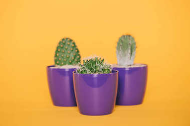 beautiful green cactuses in purple pots isolated on yellow