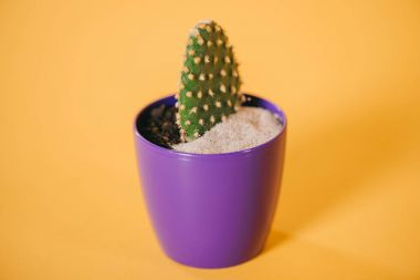 close-up view of green cactus in purple pot with soil and sand on yellow