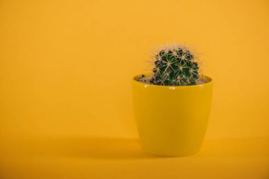 beautiful green cactus with thorns in yellow pot on yellow
