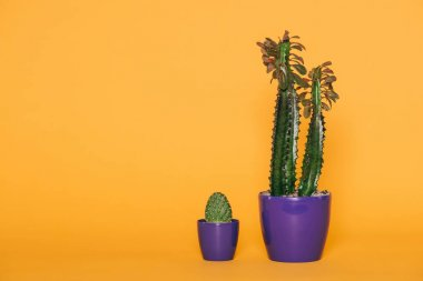 beautiful green succulents in purple pots isolated on yellow