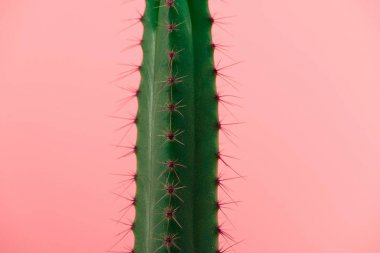 close-up view of beautiful green cactus with thorns isolated on pink