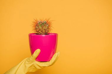 cropped shot of human hand in glove holding pink pot with cactus isolated on yellow