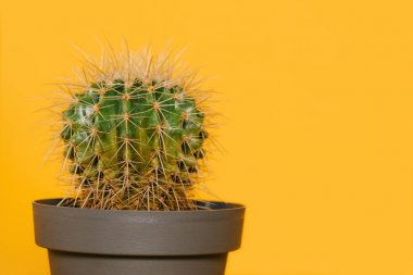 close-up view of beautiful green cactus in pot isolated on yellow