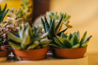 close-up view of beautiful green potted succulents plants on yellow