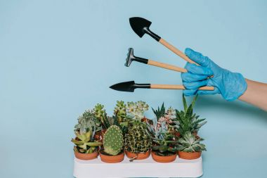 cropped shot of human hand in glove holding gardening tools and potted succulents isolated on grey