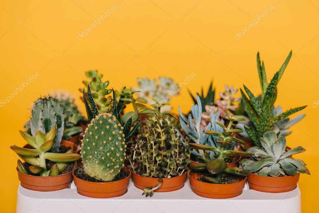 close-up view of various beautiful green succulents in pots isolated on yellow