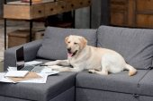 Fotografie funny labrador dog lying on couch with documents and laptop