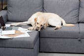 Fotografie tired labrador dog in eyeglasses lying on couch with documents and laptop