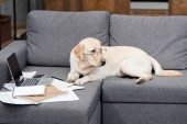 Fotografie cute labrador dog in eyeglasses lying on couch with documents and laptop