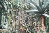 pozsgás növények és aloe növény a trópusi kert
