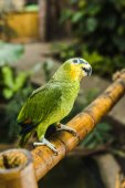 Fotografie adorable green afrotropical parrot perching on bamboo fence in tropical park