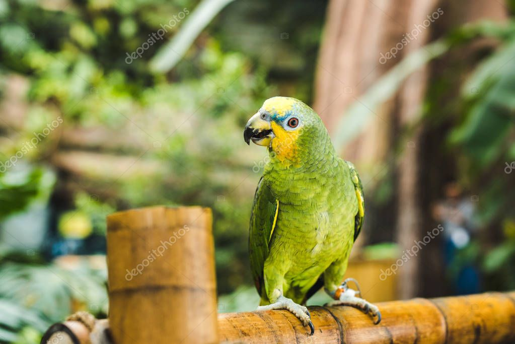 green afrotropical parrot perching on bamboo fence in tropical park
