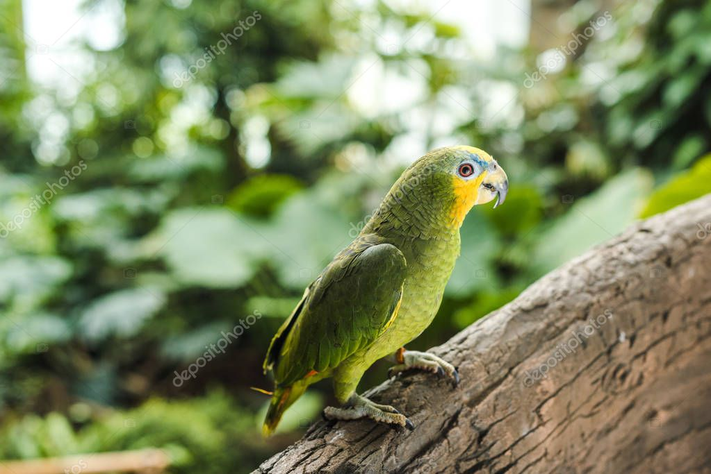 beautiful green afrotropical parrot perching on branch in rainforest