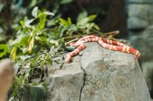 orange and white milk snake lying on rock in jungle
