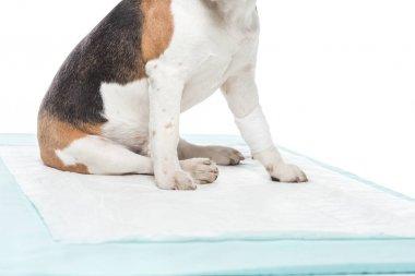 cropped image of dog with bandage on paw table isolated on white background