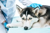 Fotografie cropped image of female veterinarian examining husky isolated on white background