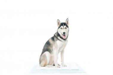 front view of cute dog sitting isolated on white background