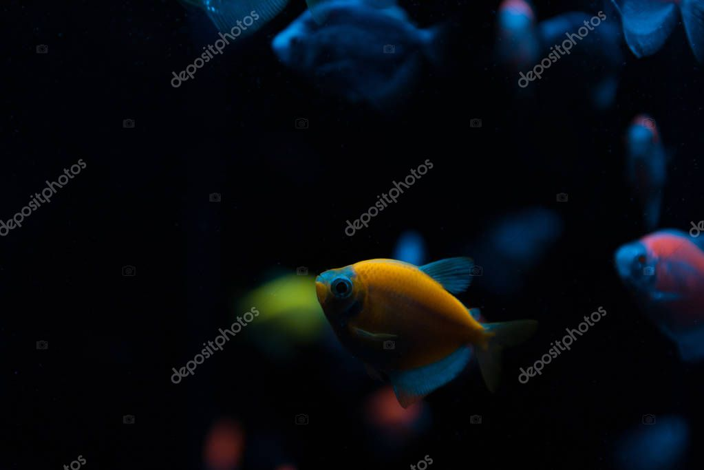 Selective focus of aquarium fishes with neon light on black background stock vector