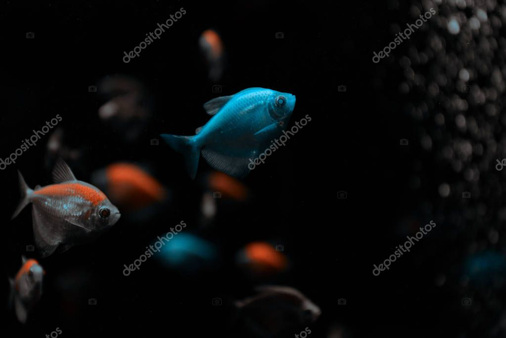 Selective focus of aquarium fishes on black background stock vector