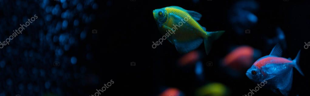 Selective focus of aquarium fishes with neon light on black background, panoramic shot stock vector