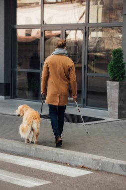 Back view of blind man with walking stick and guide dog walking on street