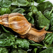 Photo slimy brown snail on green fresh leaves