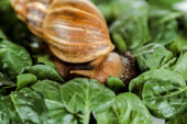 close up view of slimy brown snail on green fresh leaves