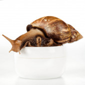 close up view of brown snail on cosmetic cream container isolated on white