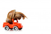 slimy brown snail on red toy car isolated on white