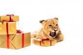 roztomilý lev mládě poblíž zlaté dárky s červenými stuhami izolované na bílém