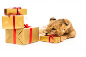 cute lion cub near golden gifts with red ribbons isolated on white