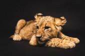 roztomilý lev mládě ležící izolované na černé