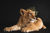 adorable lion cub lying in golden crown isolated on black