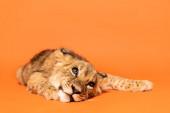 aranyos oroszlán kölyök fekvő narancs háttér