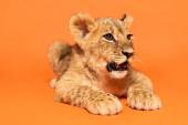carino cucciolo leone sdraiato su sfondo arancione