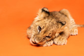 Fényképek aranyos oroszlán kölyök fekvő narancs háttér