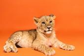 roztomilý lev mládě ležící na oranžovém pozadí