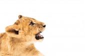rozkošné lví mládě s otevřenými čelistmi izolované na bílém