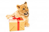 cute lion cub near golden gift with red ribbons isolated on white