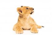 aranyos oroszlán kölyök feküdt és nézett félre elszigetelt fehér