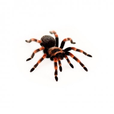 Black and red hairy spider isolated on white stock vector