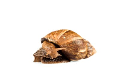 slimy brown snail isolated on white