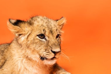 Close up view of cute lion cub lying on orange background stock vector