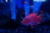 fish swimming under water in aquarium with neon lighting