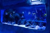 Fotografie ryby plavající pod vodou v akváriu s modrým osvětlením a kameny