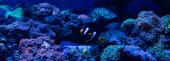 ryby plavání pod vodou v akváriu s korály, panoramatický výstřel