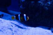 Streifenfische schwimmen unter Wasser im Aquarium mit blauer Beleuchtung