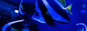 Nahaufnahme gestreifter Fische, die unter Wasser im Aquarium mit blauer Beleuchtung schwimmen, Panoramaaufnahme