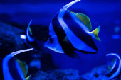 close up view of striped fish swimming under water in aquarium with blue lighting