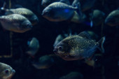 Photo selective focus of glowing fish swimming under water in dark aquarium